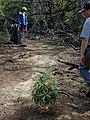Starr-020118-0030-Myoporum sandwicense-planting with Kim and Fern-Kanaha pond-Maui (24519757506).jpg