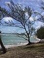 Starr-040711-0246-Casuarina equisetifolia-habit-Malaekahana-Oahu (24087313613).jpg