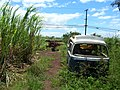 Starr-060416-7691-Saccharum officinarum-remnant in abandoned field with derelict vehicles-Paia-Maui (24494102679).jpg