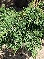 Starr-080604-6193-Juniperus bermudiana-needles and cones-Road to Marine barracks Sand Island-Midway Atoll (24820088541).jpg