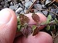 Starr-090401-5496-Veronica arvensis-leaf undersides-Olinda-Maui (24832967882).jpg