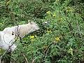 Starr-090601-8720-Tithonia diversifolia-habit with grazing horse-Upper road Kanaio-Maui (24334975983).jpg