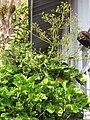 Starr-090720-2986-Polyscias scutellaria-flowering habit-Waiehu-Maui (24674516600).jpg