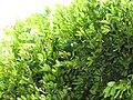 Starr-090806-3968-Cupaniopsis anacardioides-leaves-Wailuku-Maui (24878362291).jpg