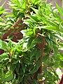 Starr-090806-4089-Celosia sp-fasciated habit-Kahului-Maui (24878576911).jpg