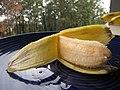 Starr-091112-9629-Musa x paradisiaca-Iholena fruit from Banana Patch LZ-Olinda-Maui (24896451241).jpg