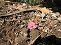 Starr-091115-1309-Eucalyptus sideroxylon-flowers and leaves on ground-Olinda-Maui (24872211502).jpg