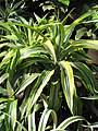 Starr-110209-0780-Dracaena fragrans-leaves-Resort Management Group Nursery Kihei-Maui (24443976444).jpg
