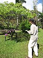 Starr-110330-3845-Murraya koenigii-habit with Kim-Garden of Eden Keanae-Maui (25054481466).jpg
