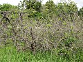 Starr-110331-4643-Diospyros kaki-habit-Shibuya Farm Kula-Maui (24714363599).jpg