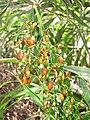Starr-110411-4939-Dianella sandwicensis-flower and brown fruit form sandwicensis-Hawea Pl Olinda-Maui (24989191481).jpg