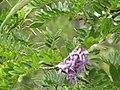 Starr-110609-6195-Gliricidia sepium-flowers and leaves-Shibuya Farm Kula-Maui (25096454345).jpg
