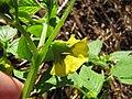 Starr-110822-8262-Physalis philadelphica-flower-Hawea Pl Olinda-Maui (25103415815).jpg