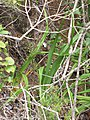 Starr-120425-4840-Dianella sandwicensis-form multipedicellata-Waikapu Valley-Maui (25139767055).jpg