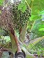 Starr-120522-6443-Verschaffeltia splendida-fruit-Iao Tropical Gardens of Maui-Maui (24776035599).jpg