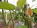 Starr-120620-7554-Jatropha curcas-leaves-Kula Agriculture Park-Maui (24519039353).jpg
