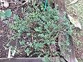 Starr-121108-1095-Satureja hortensis-habit-Pali o Waipio-Maui (25195380635).jpg