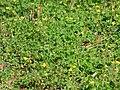 Starr-170224-0927-Oxalis corniculata-flowering habit-Hawea Pl Olinda-Maui (32998480230).jpg