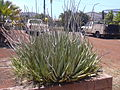 Starr 030523-0058 Aloe vera.jpg