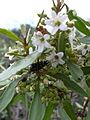Starr 040513-0051 Myoporum sandwicense.jpg