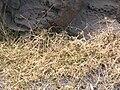 Starr 050517-1534 Dactyloctenium aegyptium.jpg