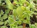 Starr 050519-1773 Melanthera integrifolia.jpg