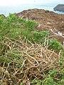 Starr 060228-8845 Chenopodium oahuense.jpg