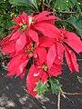 Starr 061201-1770 Euphorbia pulcherrima.jpg