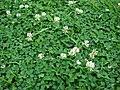 Starr 070313-5639 Trifolium repens.jpg