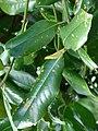 Starr 070320-5758 Magnolia grandiflora.jpg