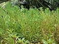 Starr 070515-7060 Myriophyllum aquaticum.jpg
