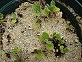 Starr 080608-7390 Solanum nelsonii.jpg