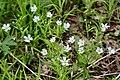 Stellaria holostea (Caryophyllaceae) (49875081476).jpg