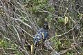 Stellers Jay (Cyanocitta Stelleri) (9357678451).jpg