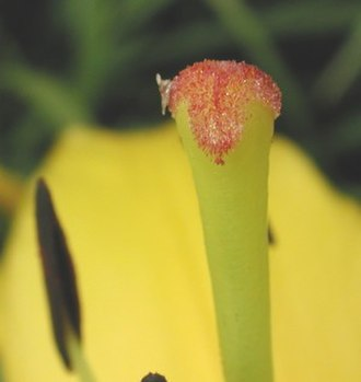 Pollen tube - Pollen on stigma
