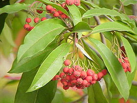 红果树 Photinia davidiana