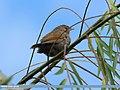 Streaked Laughingthrush (Trochalopteron lineatum) (15277227103).jpg