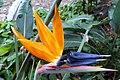 Strelitzia reginae10.jpg