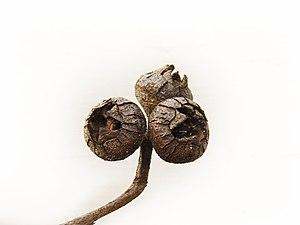 Eucalyptus macrorhyncha - Image: Stringy bark nut