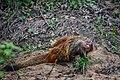 Stripe-necked Mongoose 2 (Herpestes vitticollis).jpg