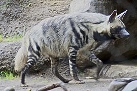 Striped Hyena 5.jpg