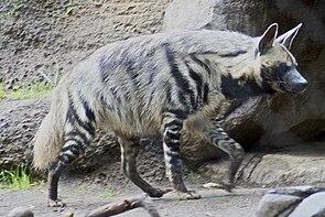Striped Hyena 5.jpg