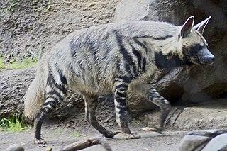 [Obrazek: 320px-Striped_Hyena_5.jpg]