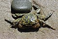 Striped Shore crab - Pachygrapsus crassipes (42676616811).jpg