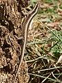 Striped Skink (Trachylepis striata) (32212984316).jpg