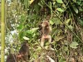Stump tailed Macaque P1130751 23.jpg