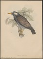 Sturnus cineraceus - 1833-1850 - Print - Iconographia Zoologica - Special Collections University of Amsterdam - UBA01 IZ15800089.tif