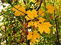 Sugar Maple Leaves - Flickr - treegrow (2).jpg