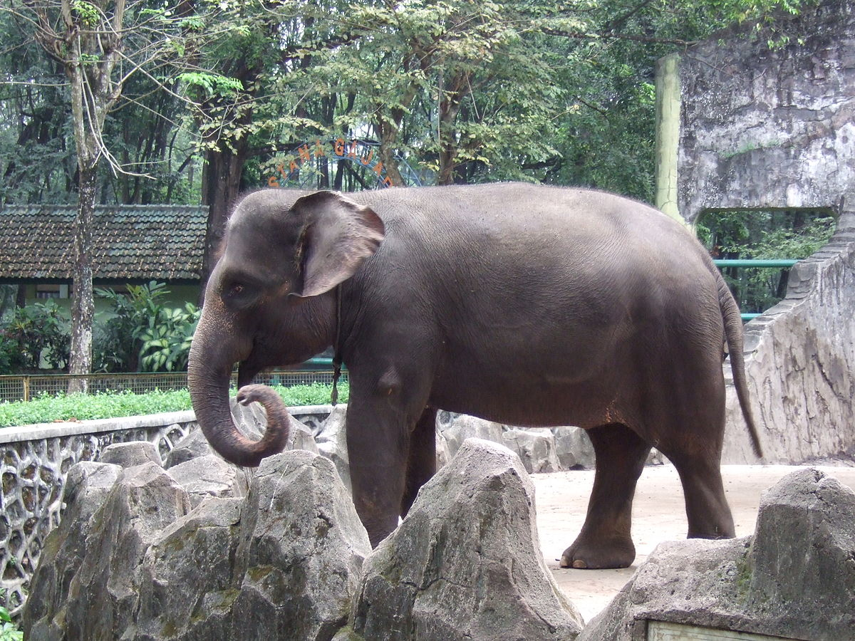 Sumatra elephant Ragunan Zoo 3.JPG