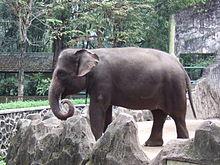 Gajah Sumatera Wikipedia Bahasa Indonesia Ensiklopedia Bebas